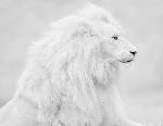 Lion1961